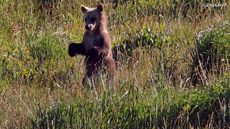 GRIZZLY CUBS (tiny)