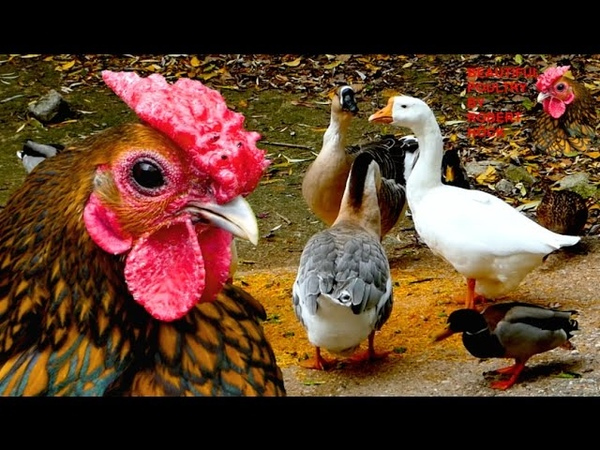 TOP20 MOST BEAUTIFUL POULTRY rare breeds of chicken geese ducks guinea fowl pigeons film