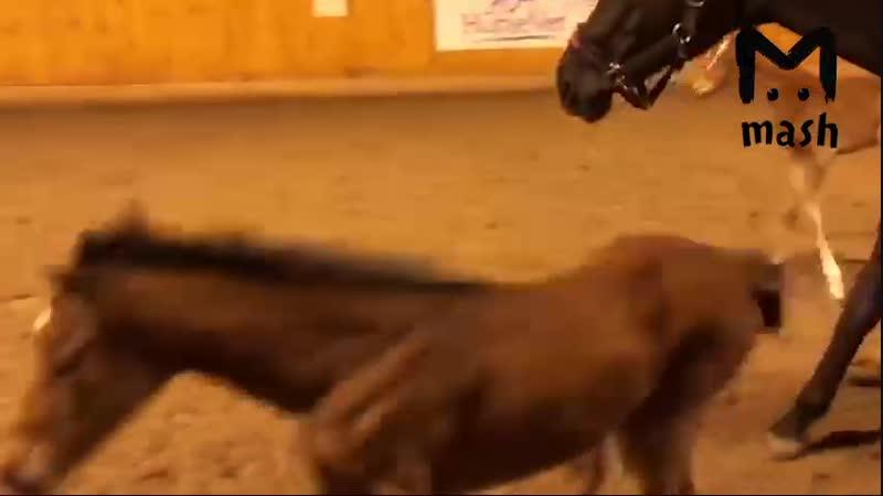 Казанские ветеринары провели уникальную операцию надорвавшей сухожилия лошади