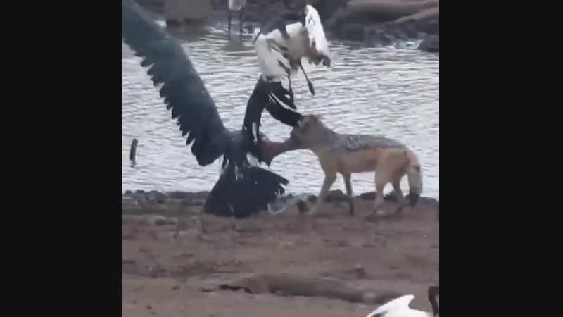 Чёрный шакал убивает больного орла сапожника
