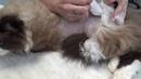 Стрижем колтуны коту без наркоза