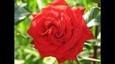 осенняя посадка роз, питомник роз Полины Козловой - rozarium