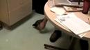 Что будет, если пощекотать пингвина   What happens if you tickle a penguin
