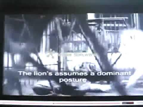 Lion vs tiger ,Lion defeat tiger 30 times Part 2