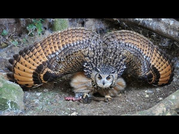EAGLE OWL ( BUBO SP. ) s PREYS HARE, HEDGEHOG, RAT, MOLE