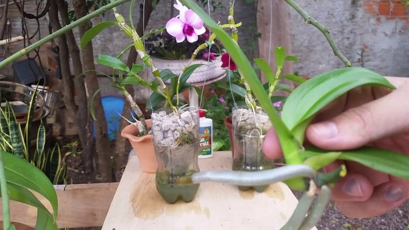 Como retirar keike da haste da phalaenopsis e dendrobium nobile