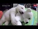 Первые 3 месяца полярного медвежонка!