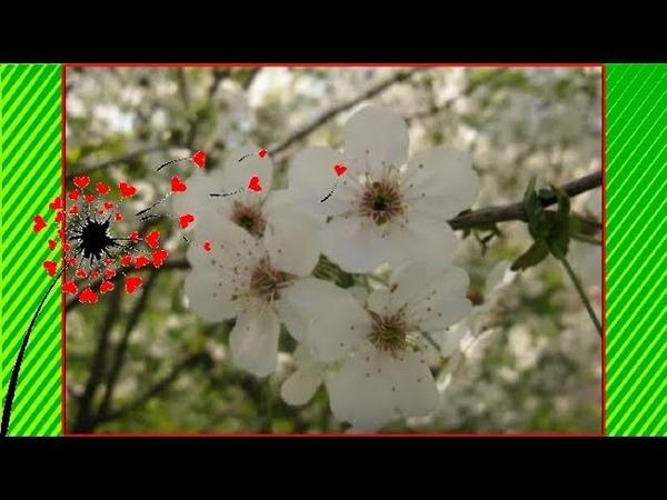 Самое теплое ВЕСЕННЕЕ ВИДЕО Красивая весна. Деревья зацвели. Пчелы. Небо с облаками.