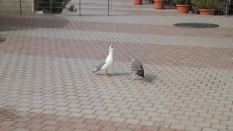 Крик чайки звуки на берегу моря в Бухте Мечты Ласпи Крым