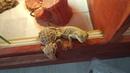 Наглые драконы. Бесстрашные ящерицы бородатые Агамы