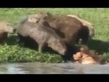 Pit Bull Se Aventura No Meio De Capivaras
