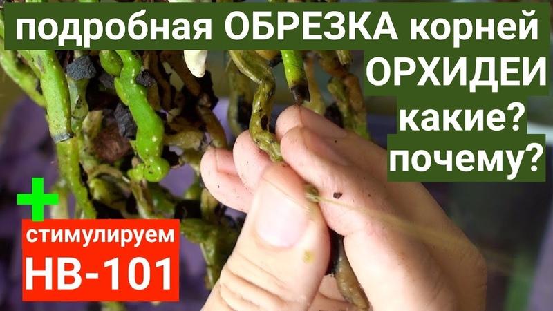 HB 101 НЕСУЩИЙ ЖИЗНЬ ОРХИДЕЯМ и подробная обрезка корней ОРХИДЕЙ каких и почему