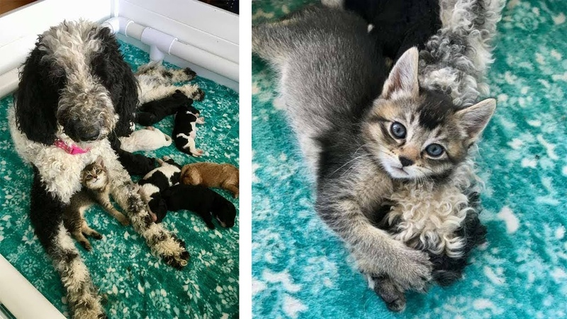Mother Dog Raises Tiny Abandoned Kitten As One Of Her Puppies
