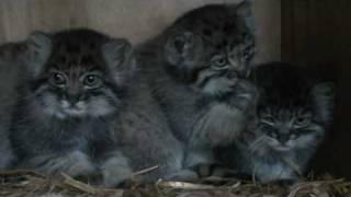 WHF Pallas Cat Kittens 2010 - enjoying playing at 7 weeks old