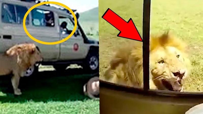 Вот почему не стоит гладить голодного льва, во время поездок по Африке
