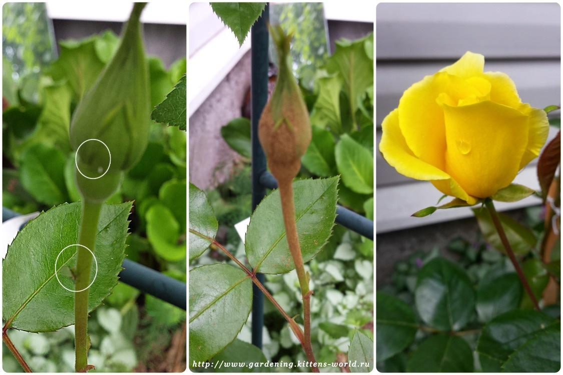 Тля на розах, как бороться