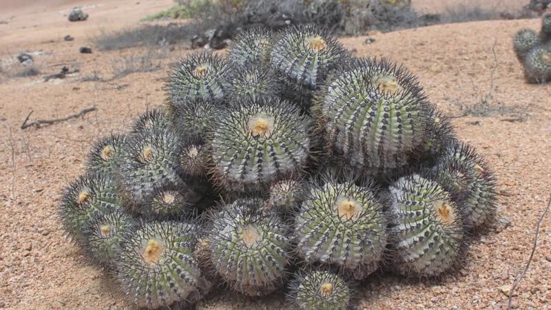 Cactus-Chile Кактусы в Чили