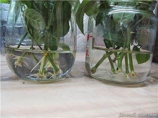 НАТУРАЛЬНЫЕ СТИМУЛЯТОРЫ ОБРАЗОВАНИЯ КОРНЕЙ Сохраните, чтобы не потерять!1. Мед. В 1,5 л воды растворяют чайную ложечку меда, черенок помещают в раствор на одну треть и выдерживают в нем 12
