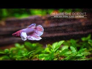 Small planted tank dumbo betta fish