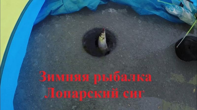 Рыбалка / Лопарский сиг / Fishing / Lappish whitefish