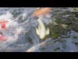 las cinco cosas que debes saber de los peces Koi