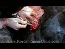 Equine Cesarean Section - CS in the Mare - Kordan Equine Polyclinic ( Dr Yaser Nazem Vet Team)