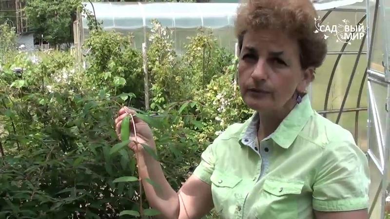Как размножить жимолость. Сайт Садовый мир