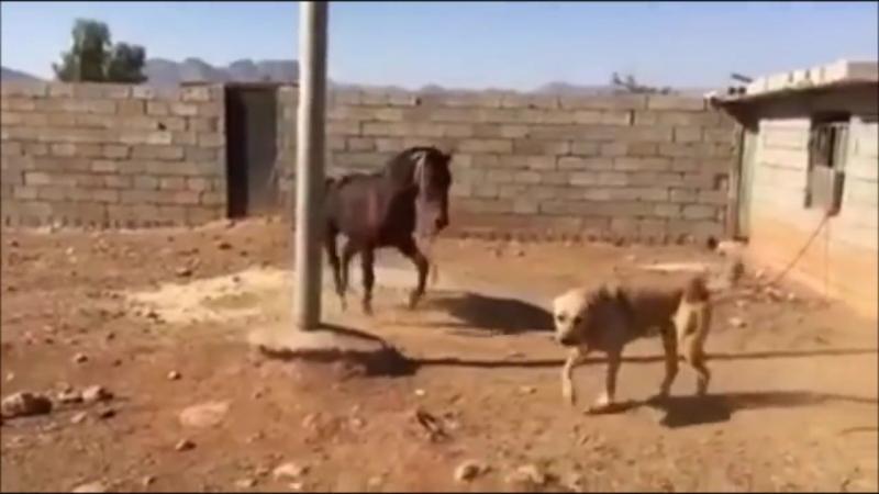 Kangala Oyun Yapan At