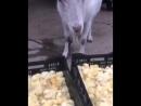 Коза поедает циплят