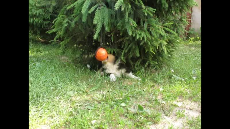 Предлагается к резервированию щенок колли трехцветный кобель колли ПЛАТОН ПРОКСЕНИ на фото 6 5 недель