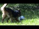 HüteHund spielt Fuss- Ball im Garten!