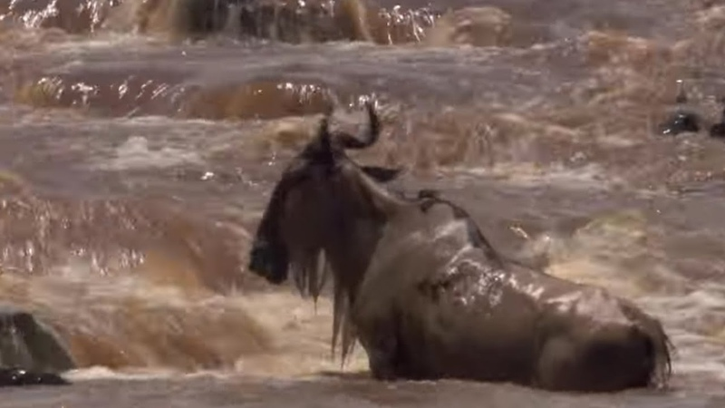 Crocodile Hunts Down Wildebeest In the Rapids | BBC Earth