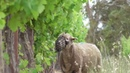 Sheep in vineyards, graze the grass but leave the vines.
