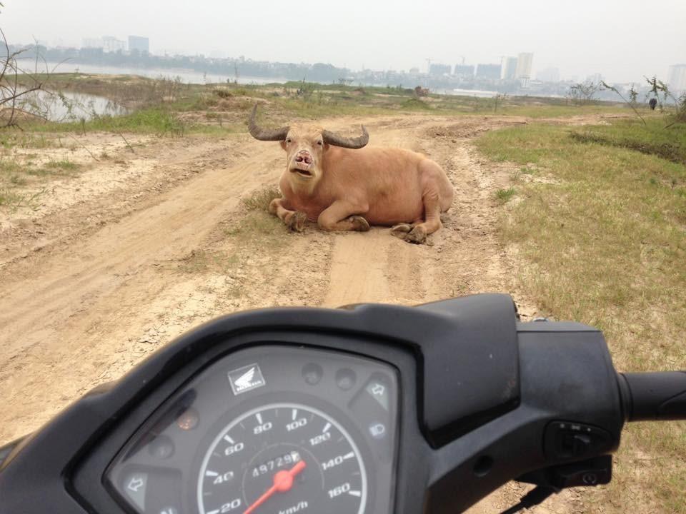 Бычьё на дороге.