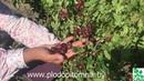 Крыжовник сорт Юбиляр. Высокоурожайный крупноплодный крыжовник.