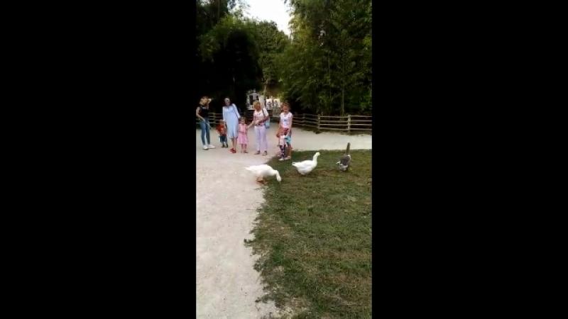 В парке Адлера жили у бабуси три весёлых гуся
