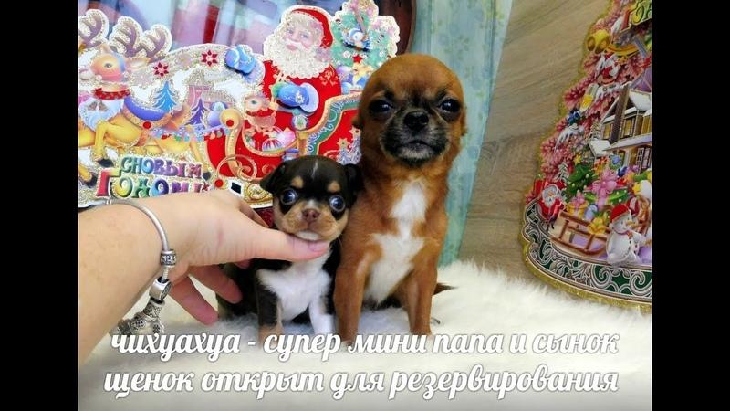 ЧИХУА ЩЕНОК ОТ СУПЕР МИНИ ПАПЫ - 1,5 КГ продающенков ( ПИТОМНИК МАРИ МИСТИК )