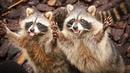 Смешные еноты на видео поднимают настроение и дарят море позитива! Funny raccoons!