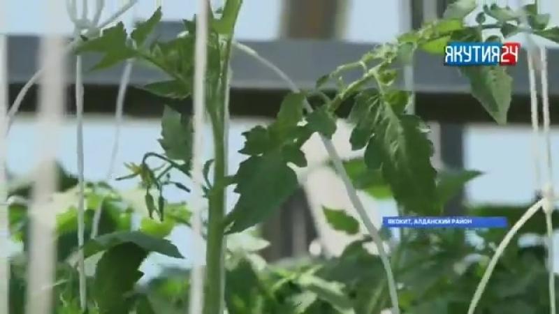 Местные овощи будут доступны для жителей Алданского района круглый год