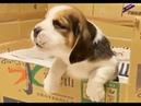 Собаки и щенки бигли