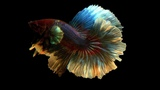 Betta splendens halfmoon dumbo big ears females WHITE, BLUE, FANCY