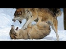 Ни одна собака не сможет победить волка ВОЛК ПРОТИВ СОБАКИ