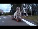 Джек расселы и скейт
