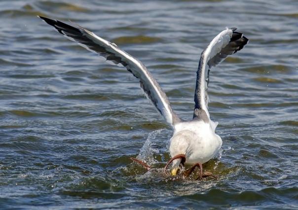 Фотограф-любитель из Калифорнии запечатлел неравную схватку между чайкой и осьминогом