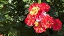 Розы. Английские розы, Канадские розы. Всё о сортах роз.