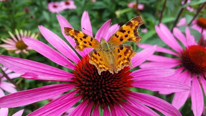 Бабочки Butterflies FullHD 60fps