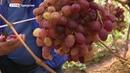 До 10-ти килограммов винограда с одного куста собирает семья на севере Удмуртии