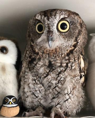 "KuuOwl フクロウのくうちゃん (ニシアメ) on Instagram: ""Spectacled Owl 😂🤣😂 メガネフクロウ owl フ1"