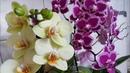 38. Орхидеи растят цветоносы в апреле! Новая орхидея мультифлора