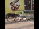 Собака помогака из села Кочубеевского покорила соцсети